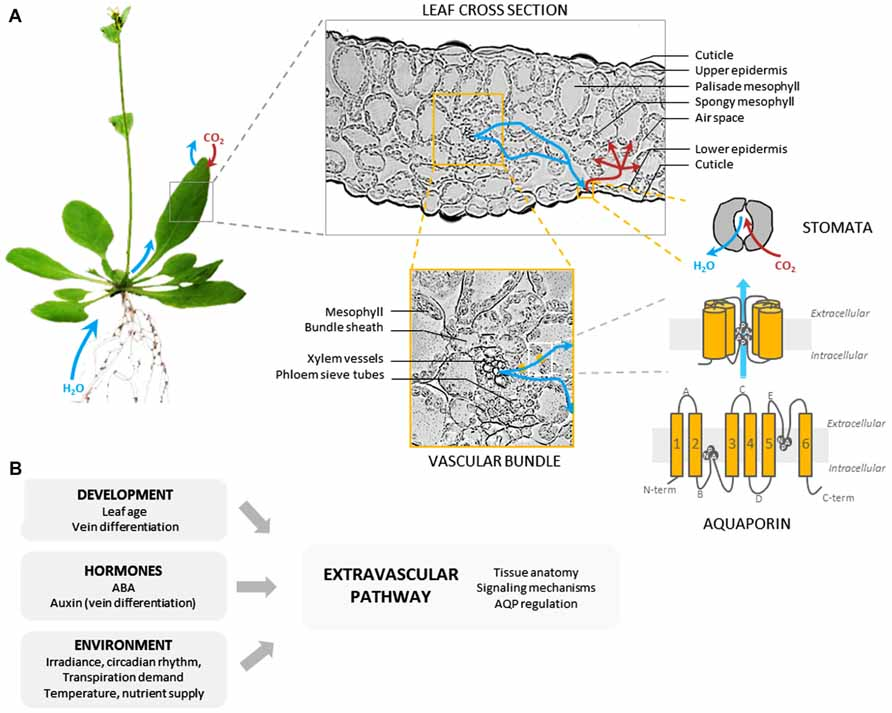 Frontiers | Regulation of leaf hydraulics: from molecular to whole ...
