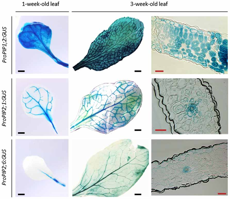 Frontiers Regulation Of Leaf Hydraulics From Molecular To Whole