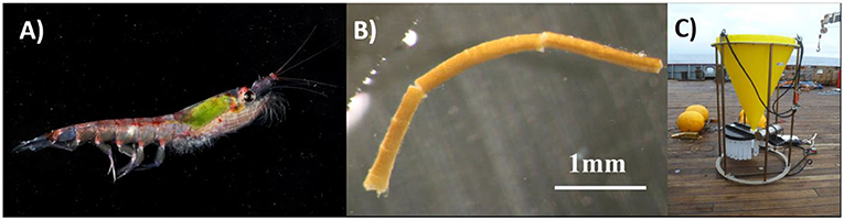 Figure 1 - (A) An Antarctic krill (total length from eye to tail, 60 mm).