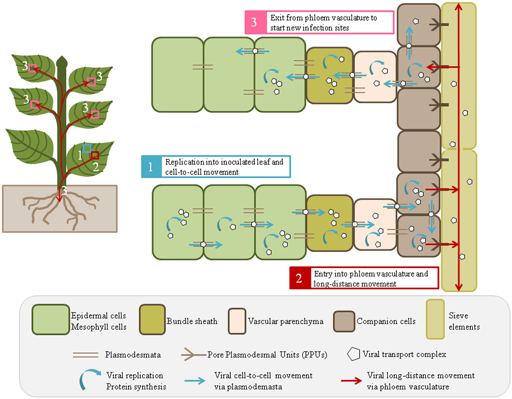 Frontiers viral and cellular factors involved in phloem transport frontiersin ccuart Choice Image