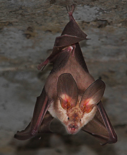 Figure 5 - The special outer ear structure of many bats allows them to accurately determine the location of objects.