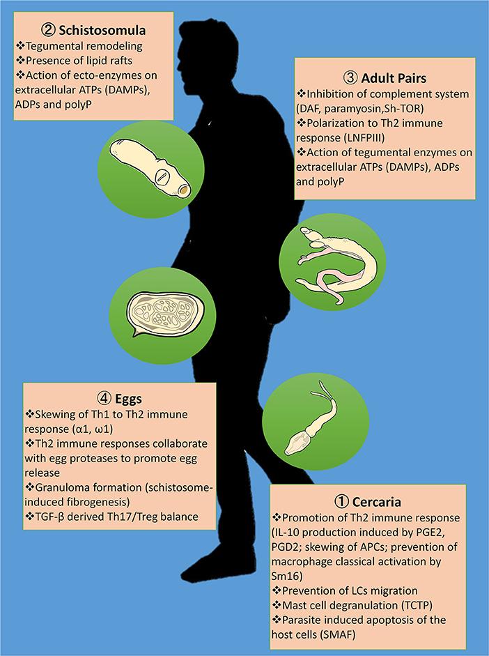 schistosomiasis guidelines philippines o modalitate ușoară de a scăpa de papilom