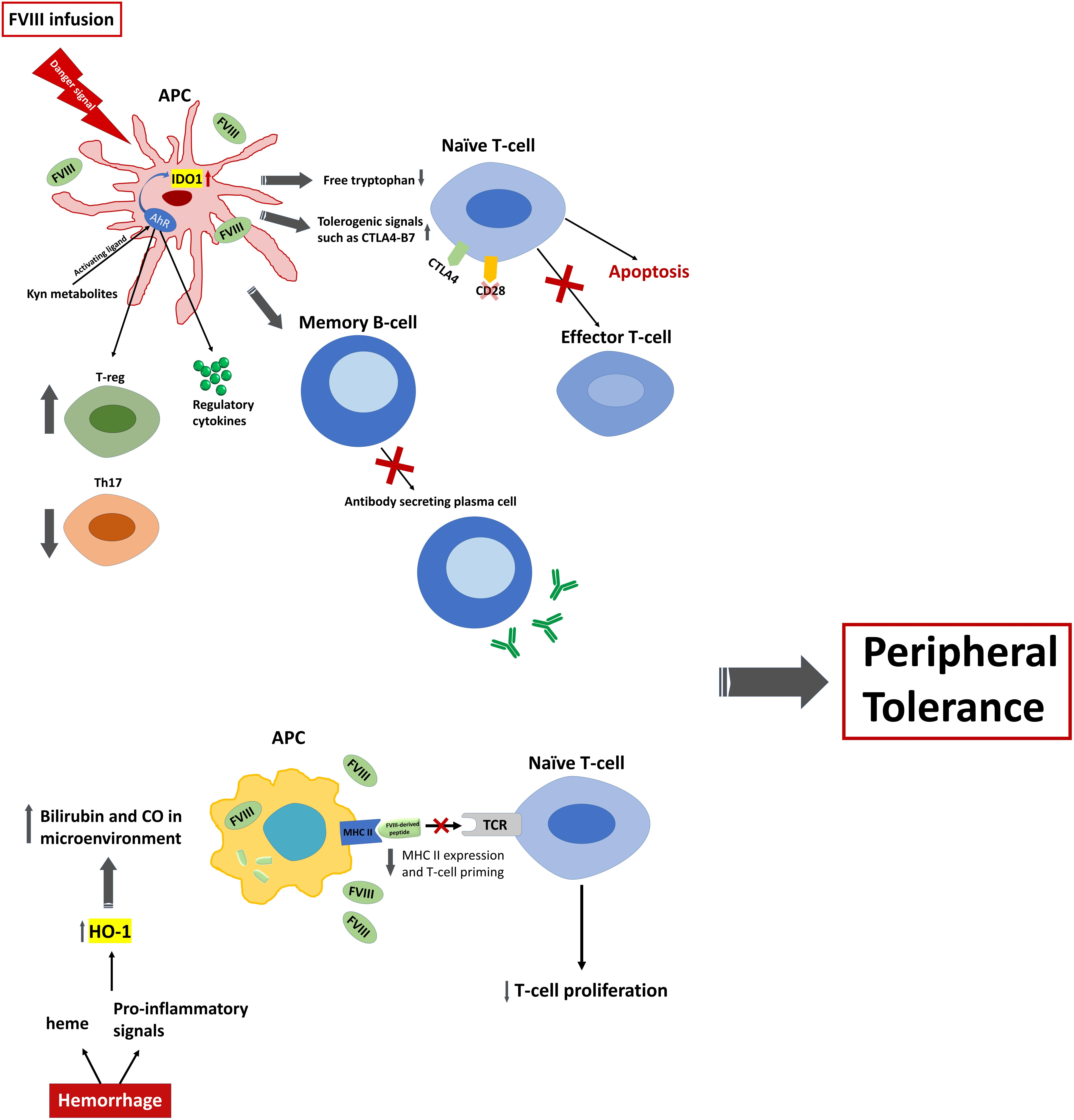 Frontiers | Immunological Tolerance