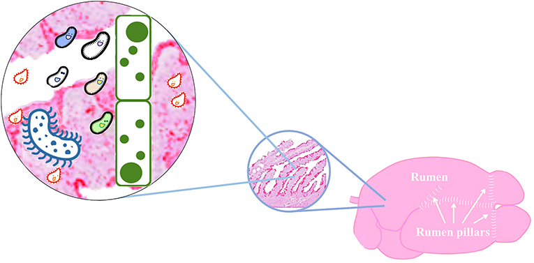 Figure 1 - Microbes of different types and sizes exist in the rumen of cattle (left).