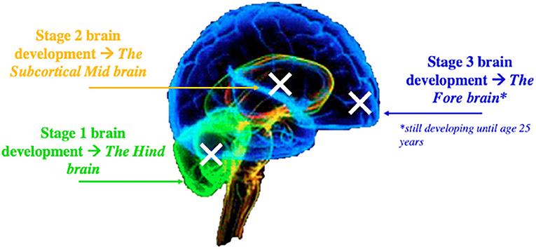 Figure 1 - The developing brain.