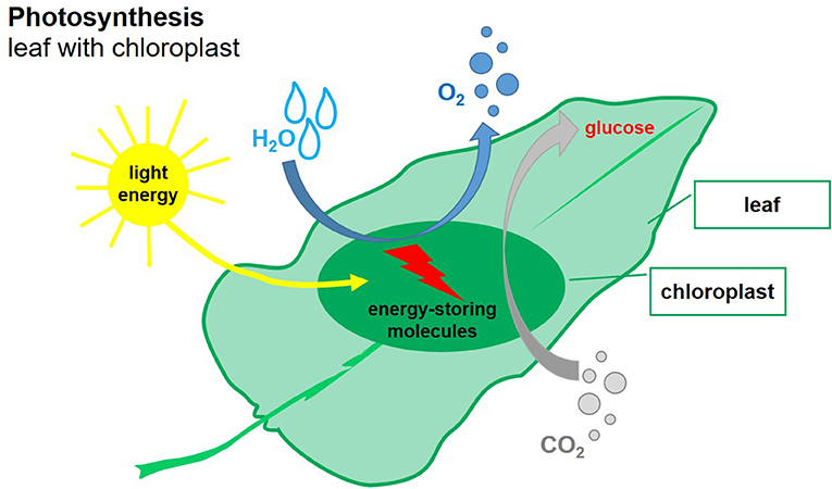 Figure 1 - A simplified illustration of photosynthesis.