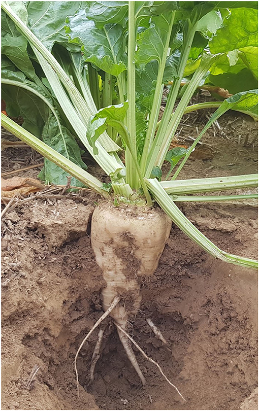 Figure 2 - Fully developed sugar beet plant.