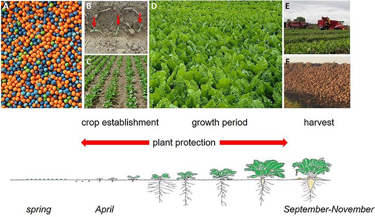 Figure 3 - Sugar beet cultivation.
