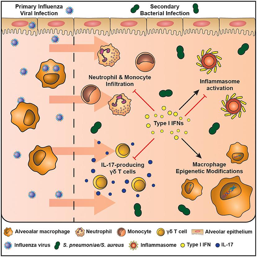 The Impact Of Type 1 Interferons On Alveolar