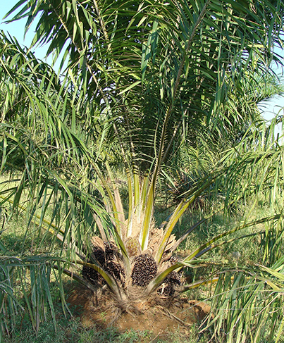 Figure 1 - An oil palm growing in a plantation.