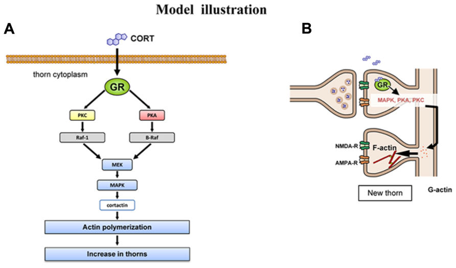Frontiers   Corticosterone rapidly increases thorns of CA3 neurons