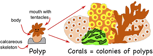 Figure 1 - Corals are colonies of polyps that are interconnected.