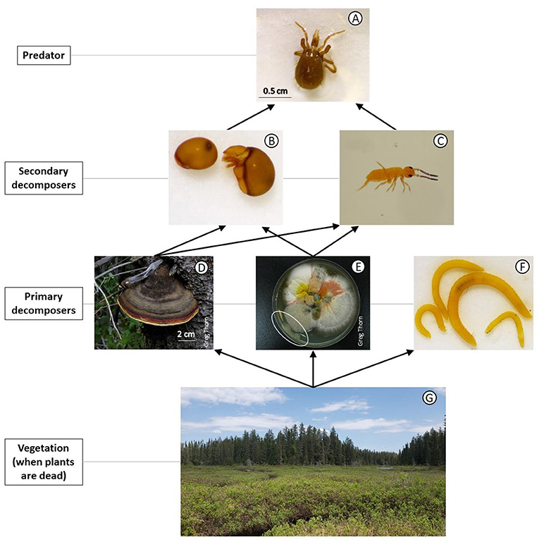 Figure 1 - Example of simplified soil food web: Example of a predator (A) Predatory mite; Secondary decomposers.