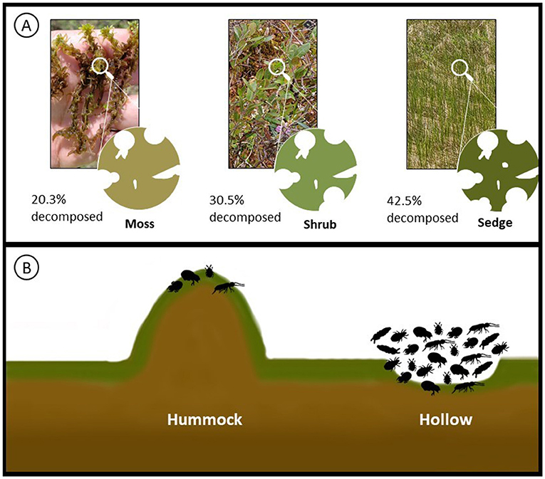 Figure 3 - (A) Different levels of decomposition on different leaf types; sedges decomposed more within the 1 year experiment.