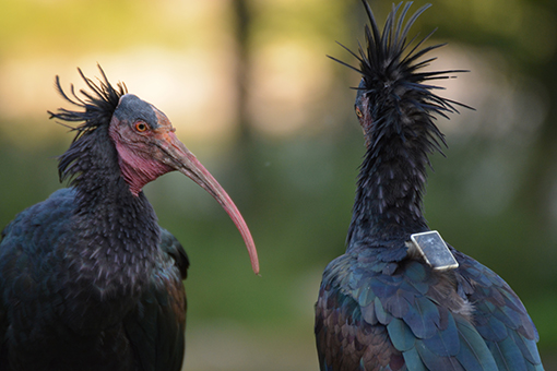 Figure 1 - Two northern bald ibises, one of which carries a GPS-transmitter.