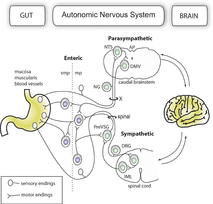 Frontiers Molecular Anatomy Of The Gut Brain Axis Revealed With