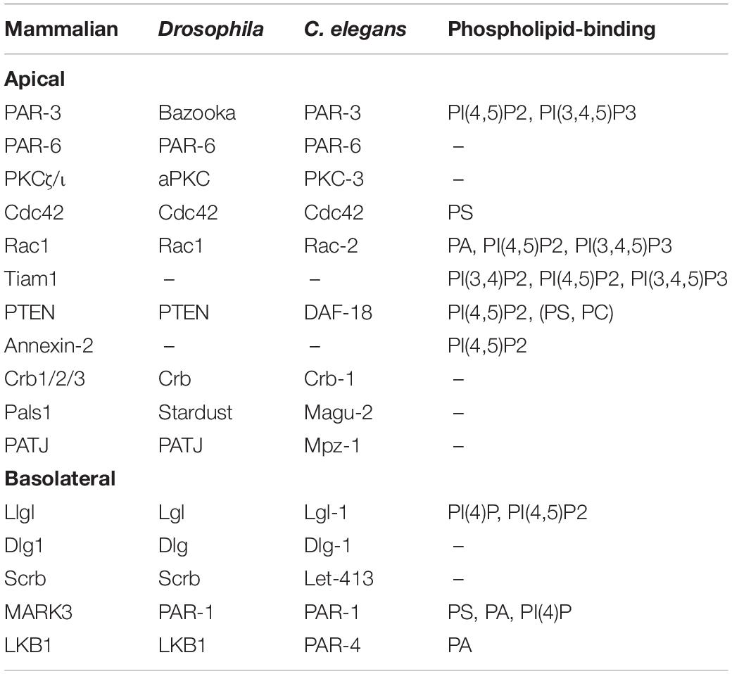 Phospholipids Of The Plasma Membrane