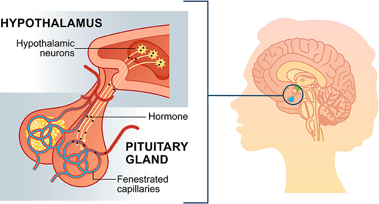 Figure 2 - The meeting point between hypothalamic neurons and pituitary capillaries.