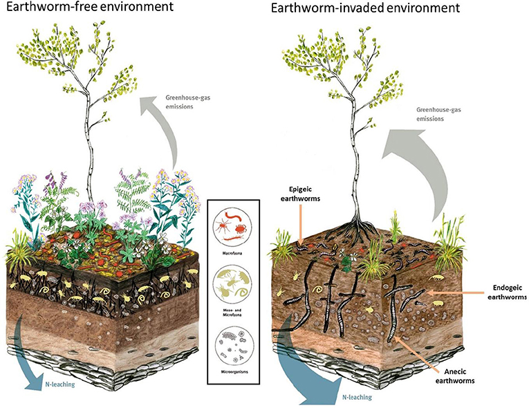 Figure 2 - Illustration of how invasive earthworms alter previously earthworm-free ecosystems.