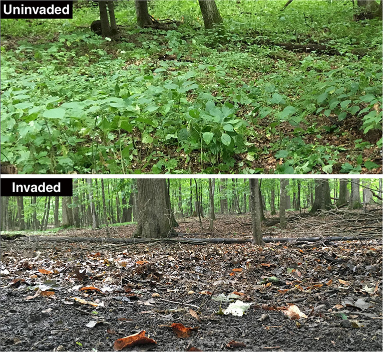 Figure 3 - Extreme example of the potential consequences of earthworm invasion in a maple forest in Minnesota, USA.