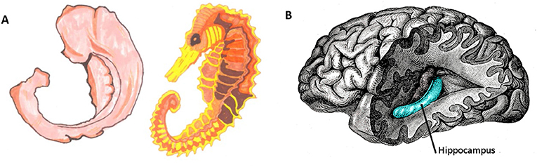"Figure 2 - (A) Hippocampus means ""seahorse"" in Greek, because the shape of this brain area is similar to the shape of a seahorse (illustration: Shira Derdikman)."