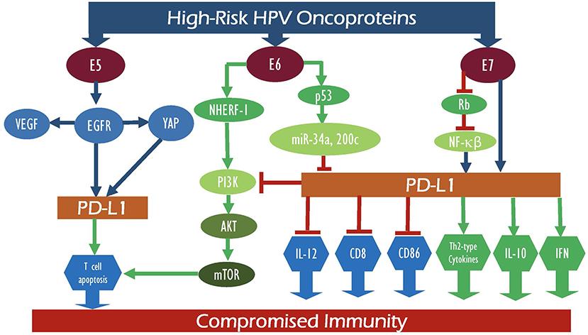 hpv orrüreg hpv vírus rakovina