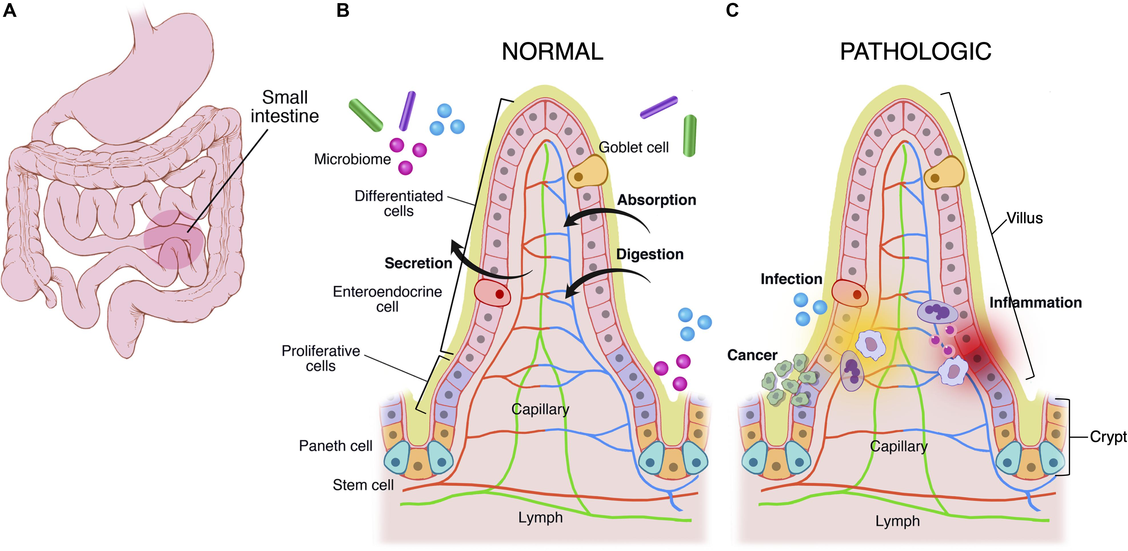 Frontiers Human Microphysiological Models Of Intestinal Tissue And Gut Microbiome Bioengineering And Biotechnology