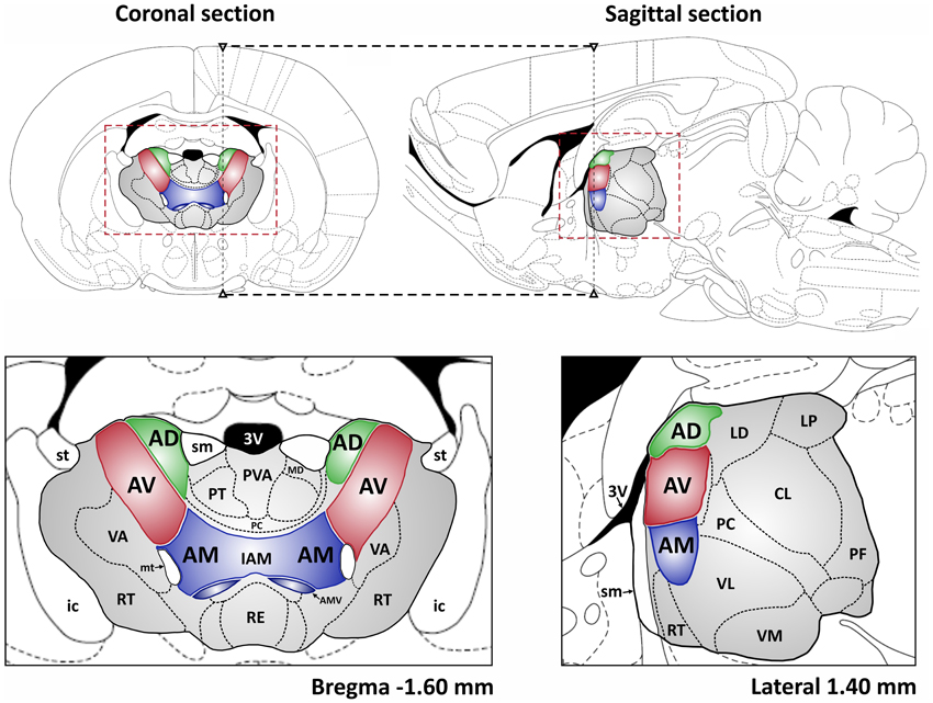 Frontiers The Anterior Thalamus Provides A Subcortical Circuit