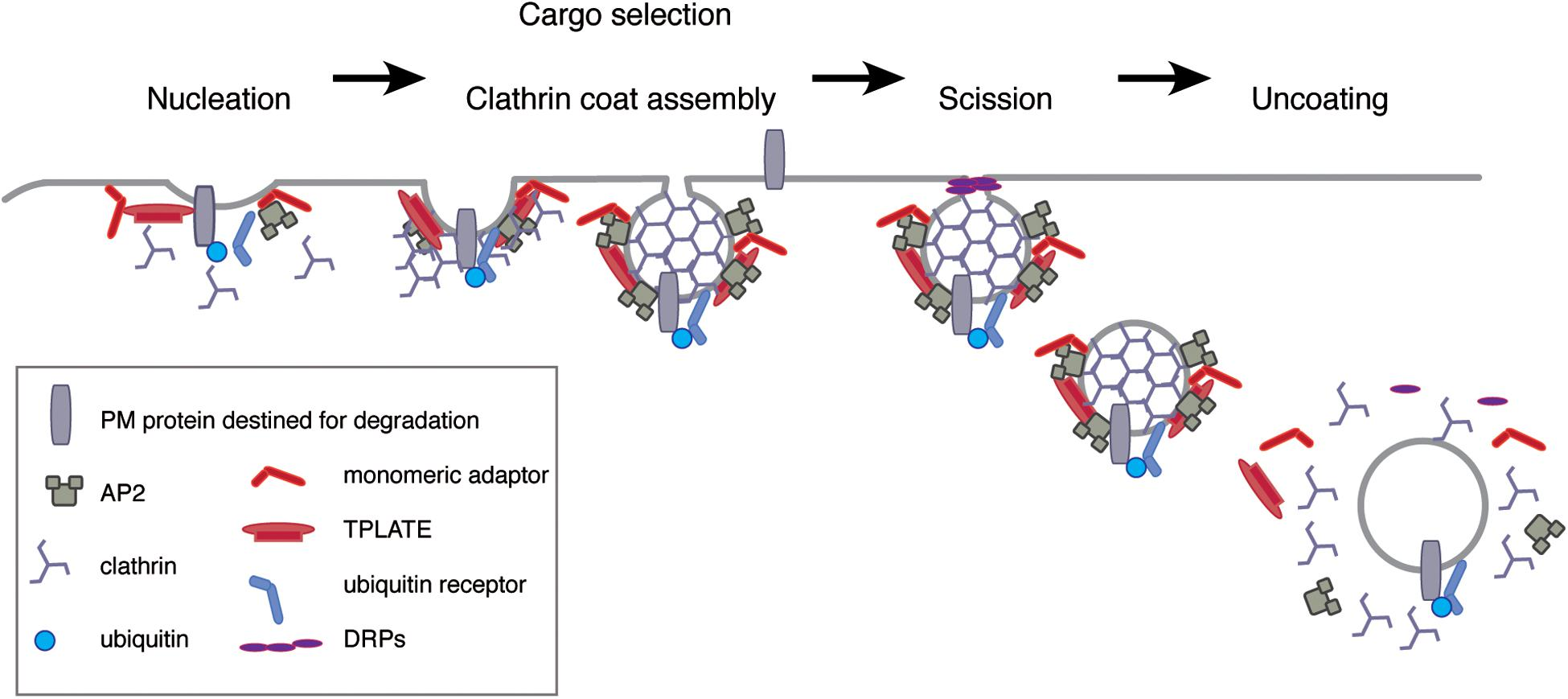 Model for the biogenesis of clathrin coated pits (CCPs) and