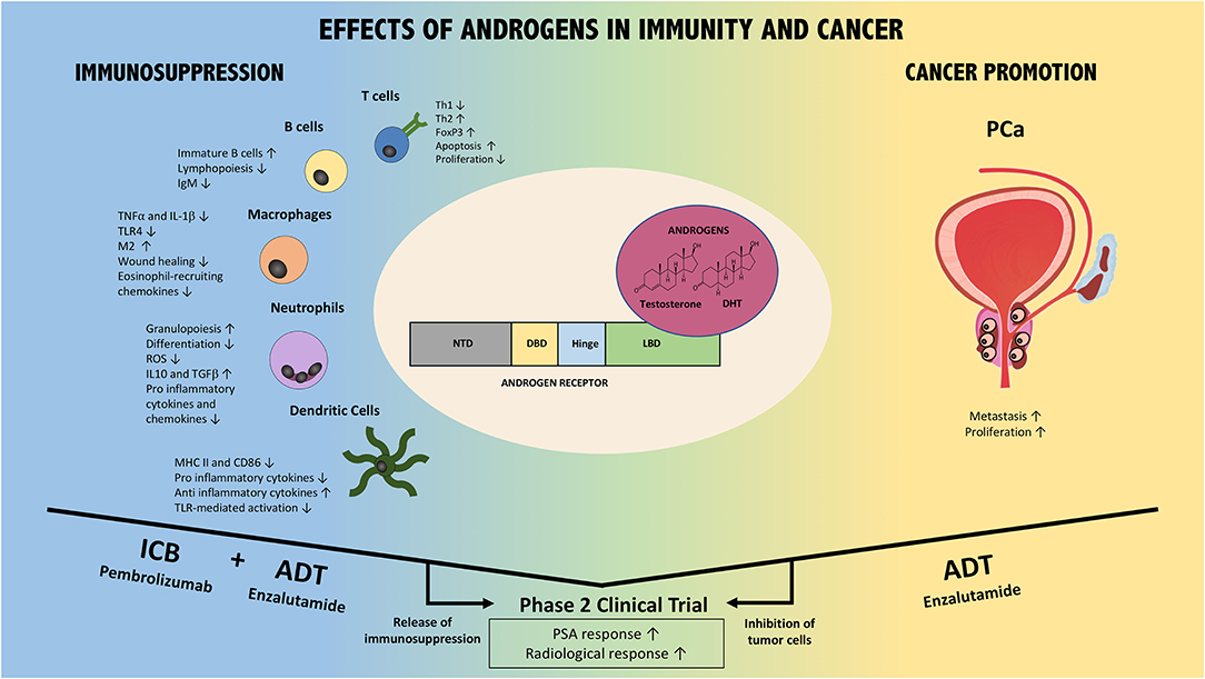 Frontiers Influence Of Androgens On Immunity To Self And Foreign Effects On Immunity And Cancer Immunology
