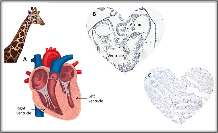 Figure 2 - Hearts have adapted differently to best suit every animal.