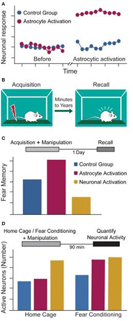 Figure 3 - Astrocytes for memory improvement.