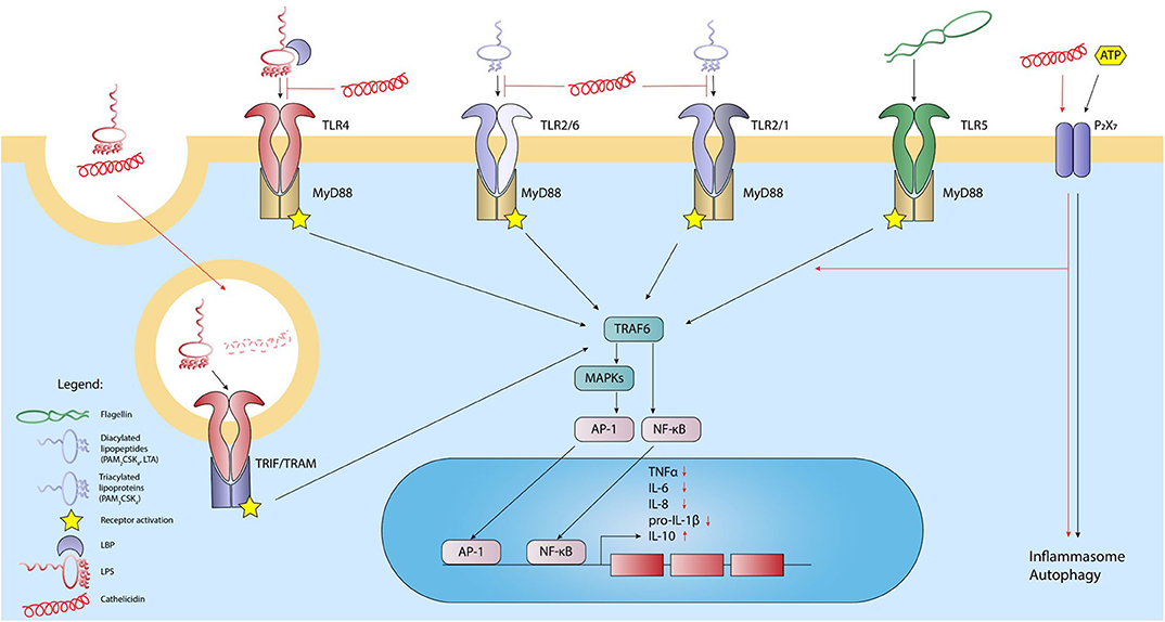 Frontiers Cathelicidins Modulate Tlr Activation And Inflammation Immunology