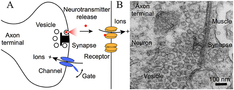 Figure 2 - Communication at the synapse.