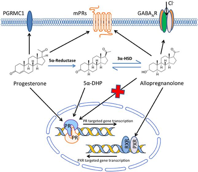 Effects of progesterone sperm receptor function