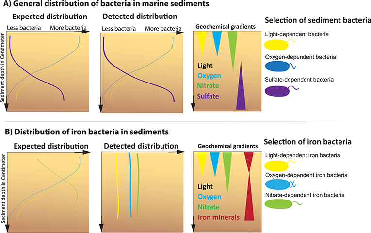Figure 2 - The expected and measured distributions of bacteria in coastal sediments.