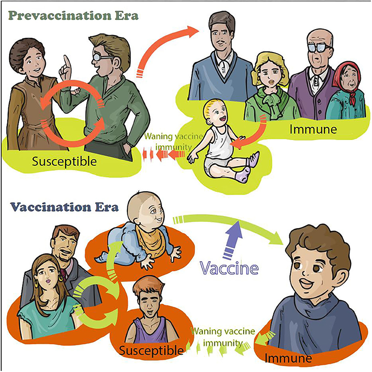 Figure 2 - Change of transmission of whooping cough after vaccination of babies before vaccination, around 80 years ago, children were contaminated by contacts with infected children (yellow color around children).