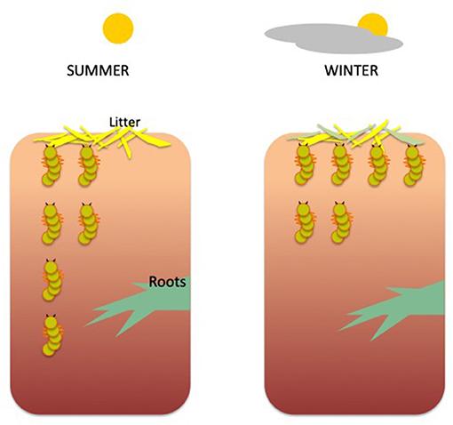 Figure 2 - Vertical migration of beetle larvae, depending on soil depth and season.