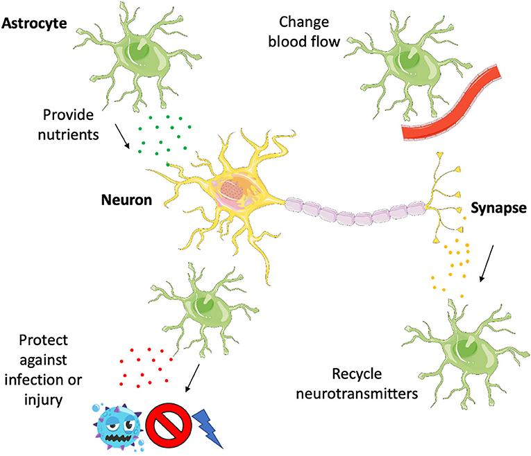 Figure 1 - Astrocytes support neurons in several different ways.