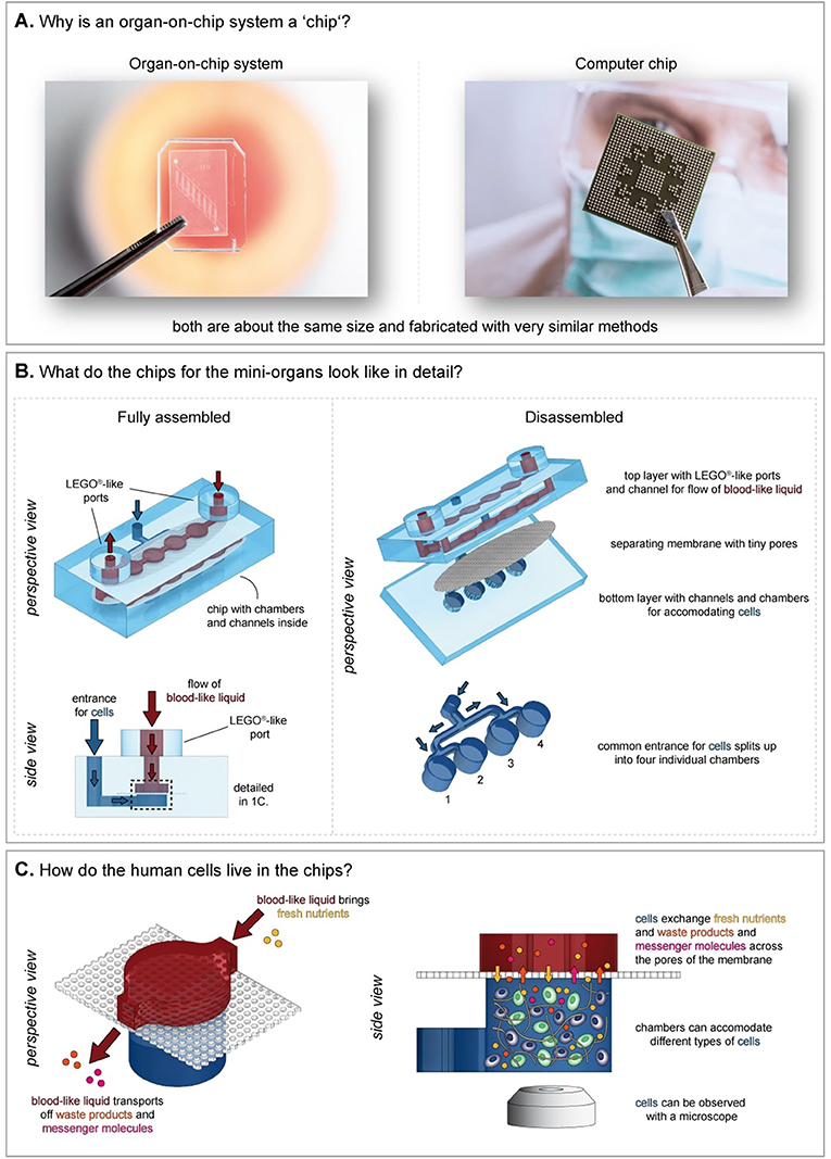 Figure 1 - An example of an Organ-on-chip.