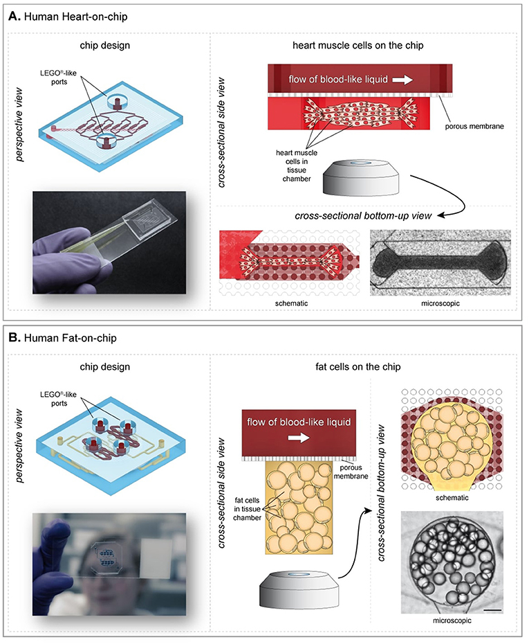 Figure 2 - Examples of Heart- and Fat-on-chip.