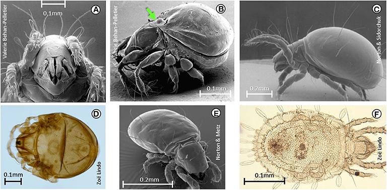 Figure 2 - Diversity of oribatid mites, with their scientific names.