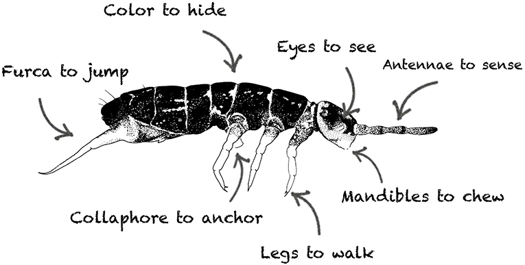 Figure 3 - What are the parts of a springtail?