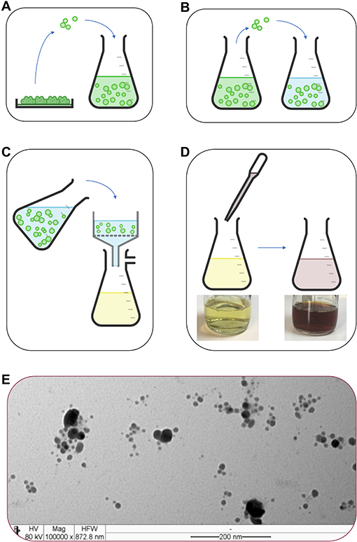 Figure 2 - (A) Small pieces are cut from fully grown fungal colonies (in Petri dishes) and transferred into liquid broth where further growth will occur (4–5 days).
