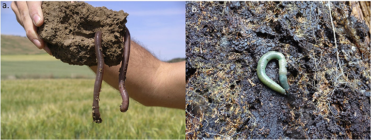 Figure 1 - There are 7,000 described species of earthworms across the globe [1], and they vary considerably in their appearance.