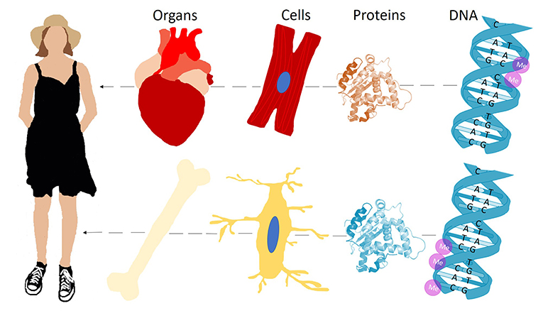 Figure 1 - The body consists of many cell types, like heart cells and bone cells.