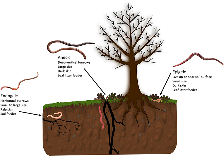 Figure 1 - There are three main types of earthworms, called ecotypes: endogeic, anecic, and epigeic.