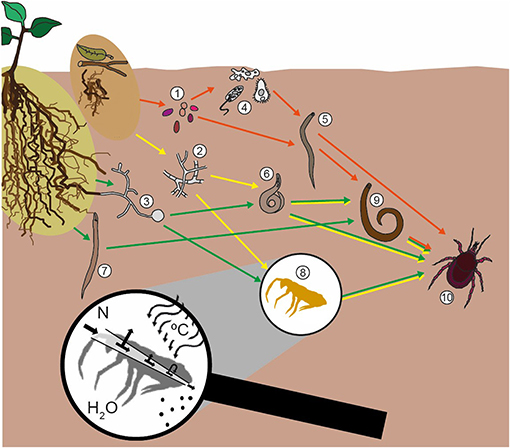 Figure 1 - The soil food web is composed of many kinds of soil organisms: (1) bacteria, (2) fungi, (3) arbuscular mycorrhizal fungi, (4) protozoans, (5) bacteria-feeding nematodes, (6) fungal-feeding nematodes, (7) root-feeding nematodes, (8) collembolans, (9) predatory nematode, and (10) predatory mites.