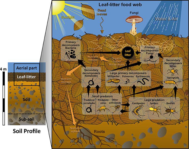 Figure 1 - The leaf-litter food web.