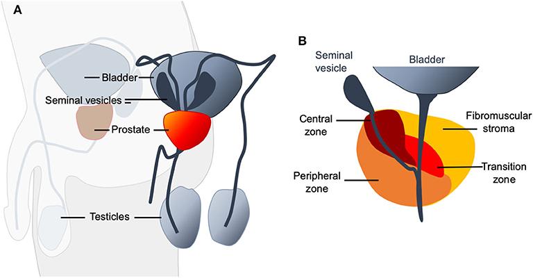 Prostatitis és arginin Vér a vizelet prosztatitisben